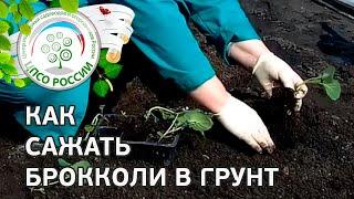 Как посадить капусту брокколи. Сажаем рассаду брокколи в грунт.(В этом ролике - способ посадки рассады капусты брокколи в грунт на постоянное место. Как понять, что рассада..., 2016-04-27T09:06:47.000Z)