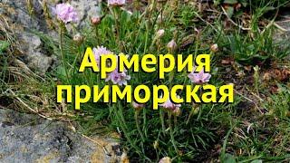 Армерия приморская. Краткий обзор, описание характеристик, где купить рассада armeria maritima