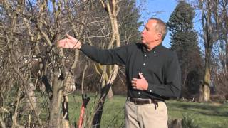 In the Garden - Cutting back Lilacs