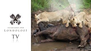 Tsalala Lion Pride Kill Big Buffalo Bull - Londolozi TV