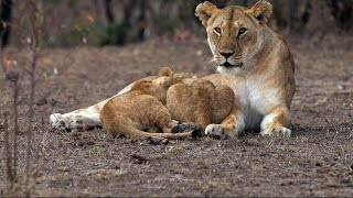 national geographic documentary night of the lions nat geo wild