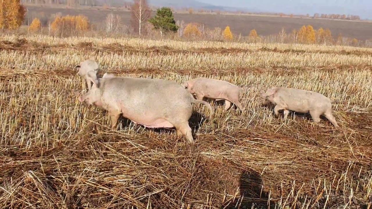 Свиньи жрут гречиху. Берите кто хотите/Семья Фетистовых