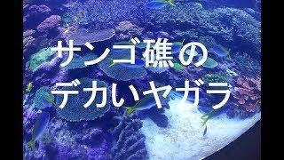 夜明けのサンゴTV238話 沖縄備瀬崎の神の島周辺でシュノーケリングして...