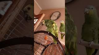 """Попугай амазон. Parrot dance. Эх, """"раззудись плечо, размахнись рука!"""""""