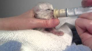 """Mr. Quackers as a tiny baby. Hand Feeding a Newborn Kitten with the """"squirrel nipple"""""""