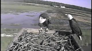 Bald Eagle Couple on Blackwater NWR Osprey Cam Platform