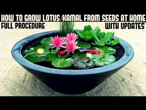 How to Grow Lotus Plant at Home With Updates( FAST N EASY METHOD)
