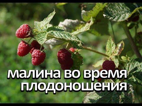 Малина во время плодоношения. Что нужно малине во время плодоношения. | плодоношения | хозяйство | цветения | осенняя | обрезка | осенью | огород | малина | умное | время