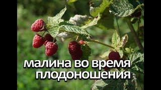 Малина во время плодоношения. Что нужно малине во время плодоношения.
