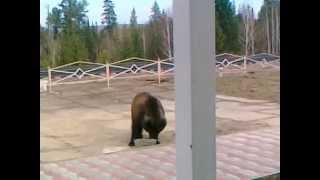 Медведь на ж/д станции пьет бражку