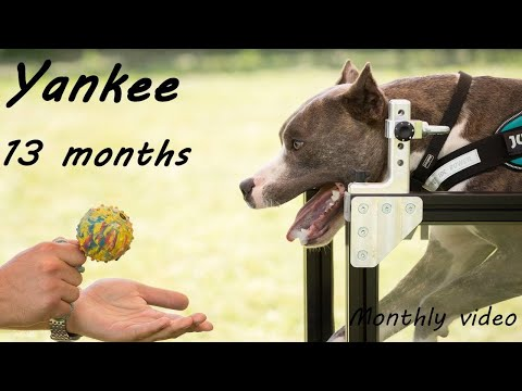 Super American Staffordshire Terrier - Julius K9 treadmill/sprint/high jump/wall climbing