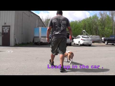 1-Year Old Dog Aggressive Pit Bull