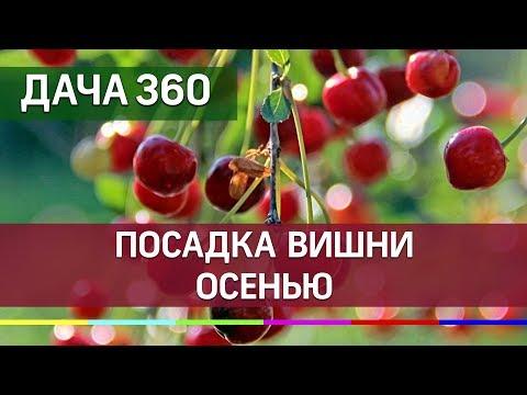 Сажаем вишню осенью ДАЧА 360