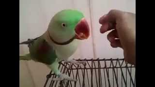 Hand Tame Talking Alexandrine Parrot