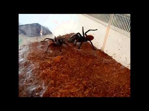 Green Bottle Blue tarantula mating comes to a violent end