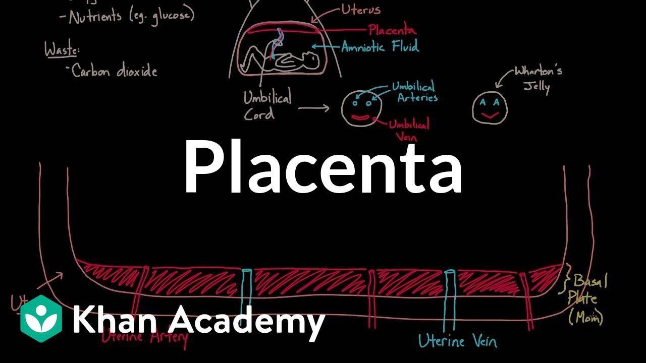 Meet the placenta!