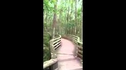 Florida Panther Surprises Woman On a Nature Walk On a Boardwalk
