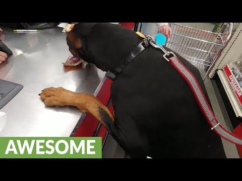 Doberman picks out his own treat, brings it to cashier