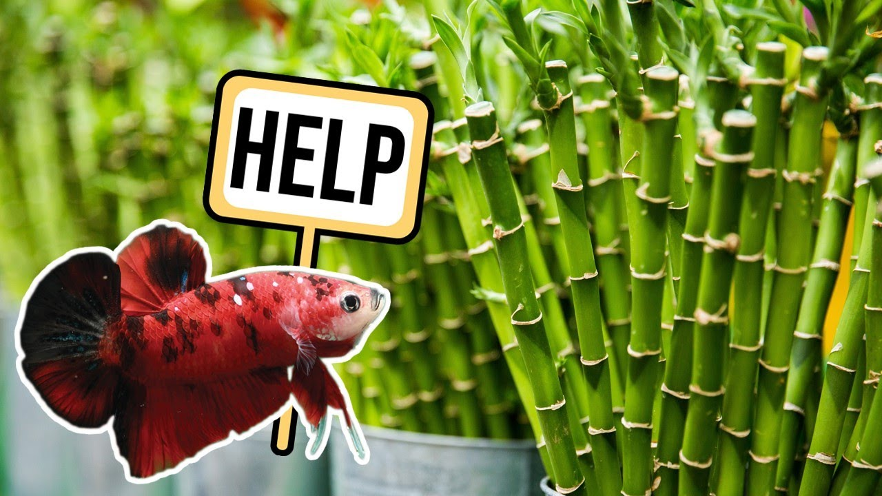 What Plants Should You Avoid with Betta Fish? (and other questions)