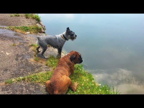 А ваша собака умеет плавать? Миттельшнауцер и Боксёр