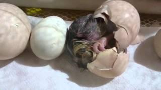 Filhote de pavão azul [ Assim nasceu o pavão misterioso kkk ]