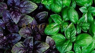 видео Выращивание базилика из семян