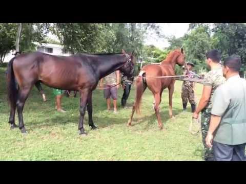 Stallion semen collection ( training sixth year VET student ) KhonKaen Thailand