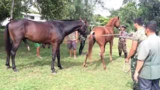 Repeat youtube video Stallion semen collection ( training sixth year VET student ) KhonKaen Thailand