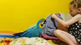 Попугай ара и рюкзак