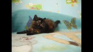 экзотическая короткошерстная кошка Днепропетровск