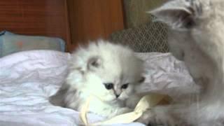персидская серебристая шиншилла