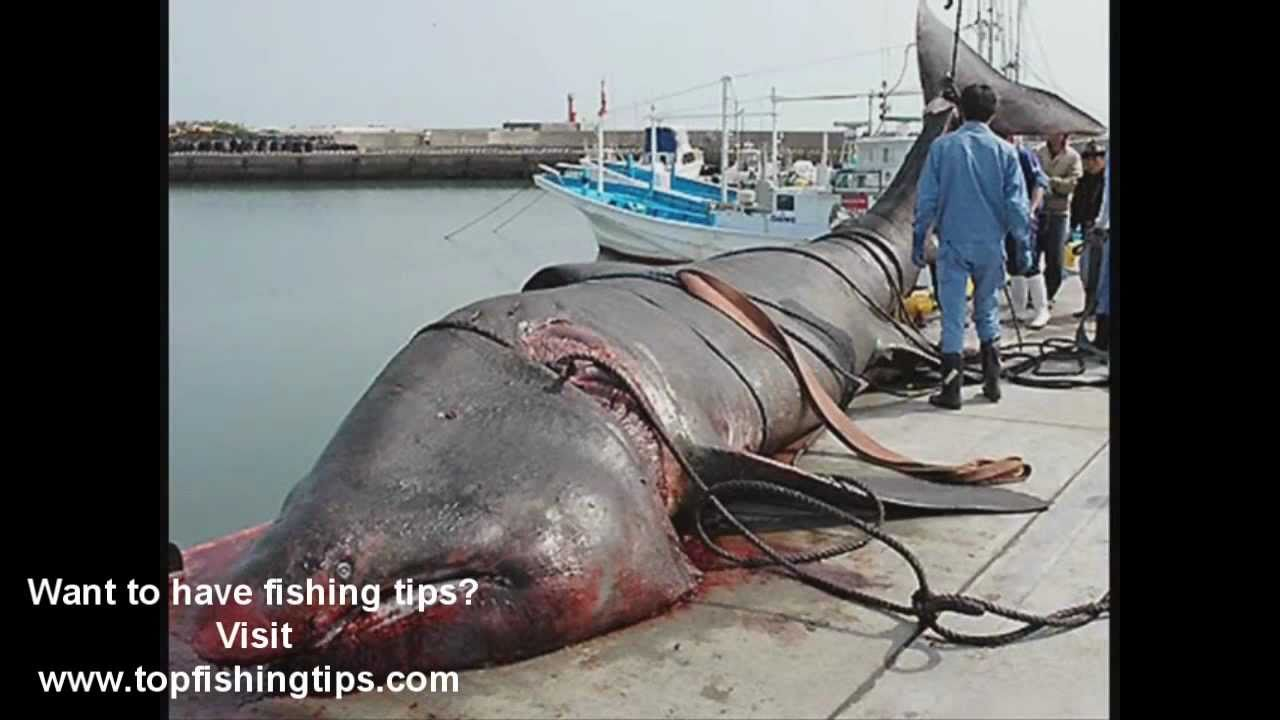 Worlds largest fish ever youtube for What is the biggest fish ever caught