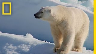 Polar Bear Encounter in Canada's High Arctic | National Geographic