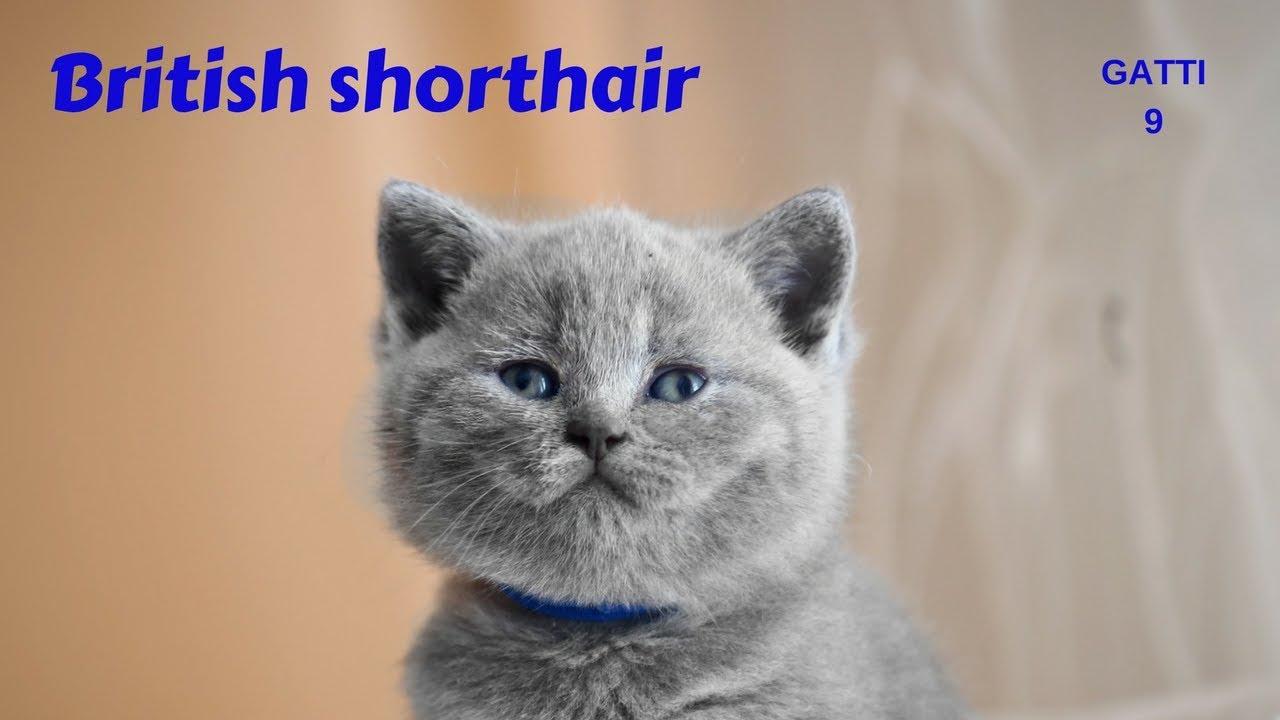 Gatti 9 British Shorthair Youtube