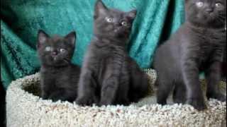 Шоколадные котята - продажа 8-905-734-55-65