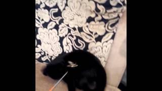 Британская чёрная кошечка Маняша