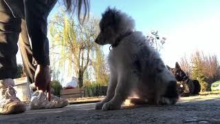 Ryuk Australian Shepherd