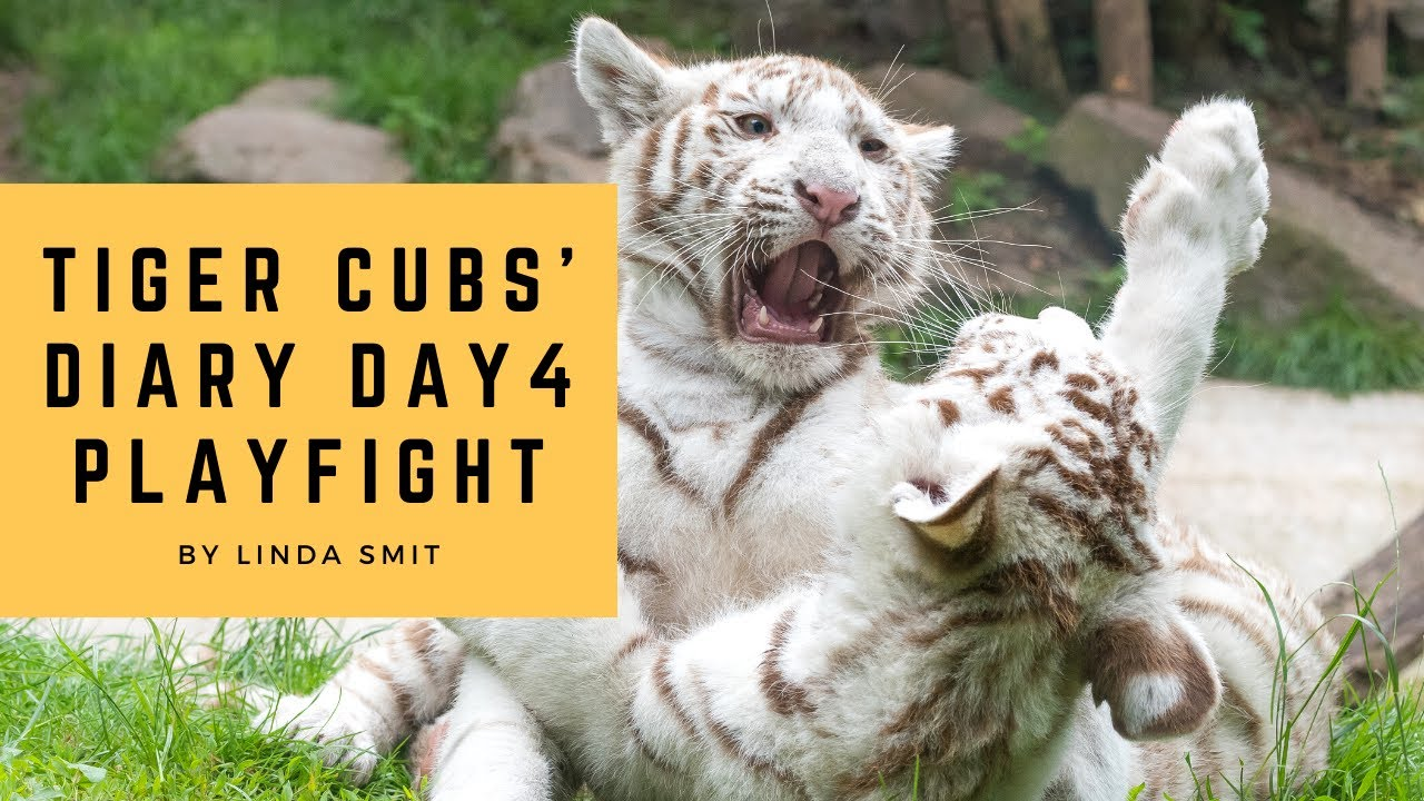 Tiger cubs' diary - Day 4 | Cub going vegetarian? Fouyou using brother as pillow, Brothers fighting