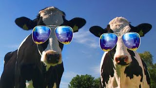 Funny Cow Dance  Chicken Song 10 - Funny Cow and Chicken Videos Together