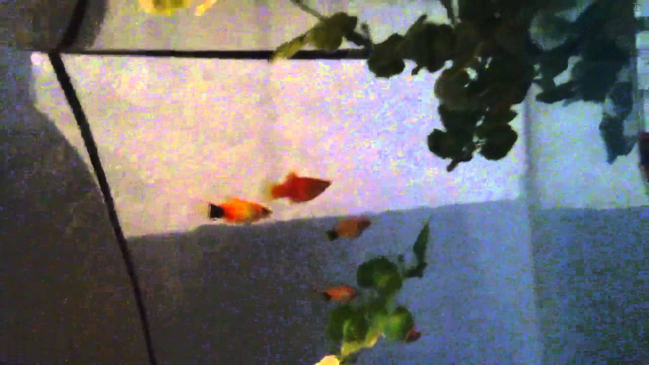 youtube how to breed fighting fish