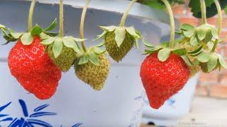 Nhật kí trồng dâu tây tại nhà part 12   Tưới nước cho dâu tây, ngắm dâu và chia sẻ kinh nghiệm