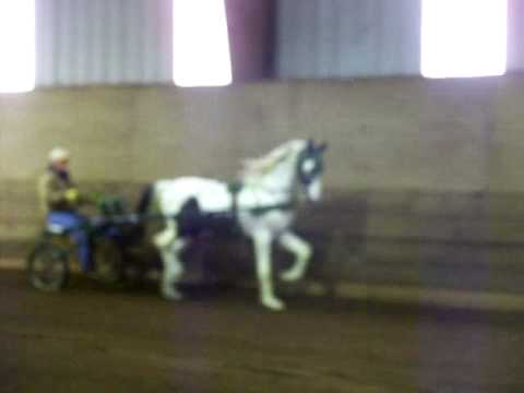 Arctic Sensation first month of harness training.