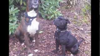 Staffordshire Bull Terrier Vs. Boxer Dog.