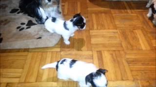 Biewer-yorkshire-terrier / O-wurf (4)