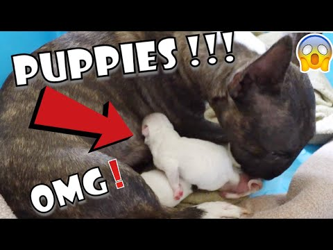 "NEW BORN PUPPIES ""MINI BULL TERRIERS"""
