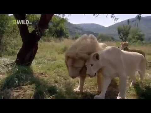 Lions And Man Documentary - Wildlife In America