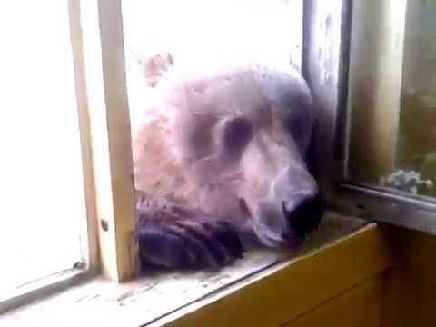русский медведь знакомство