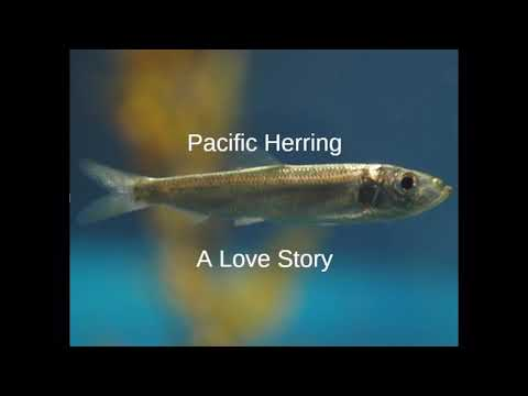 Pacific Herring: A Love Story