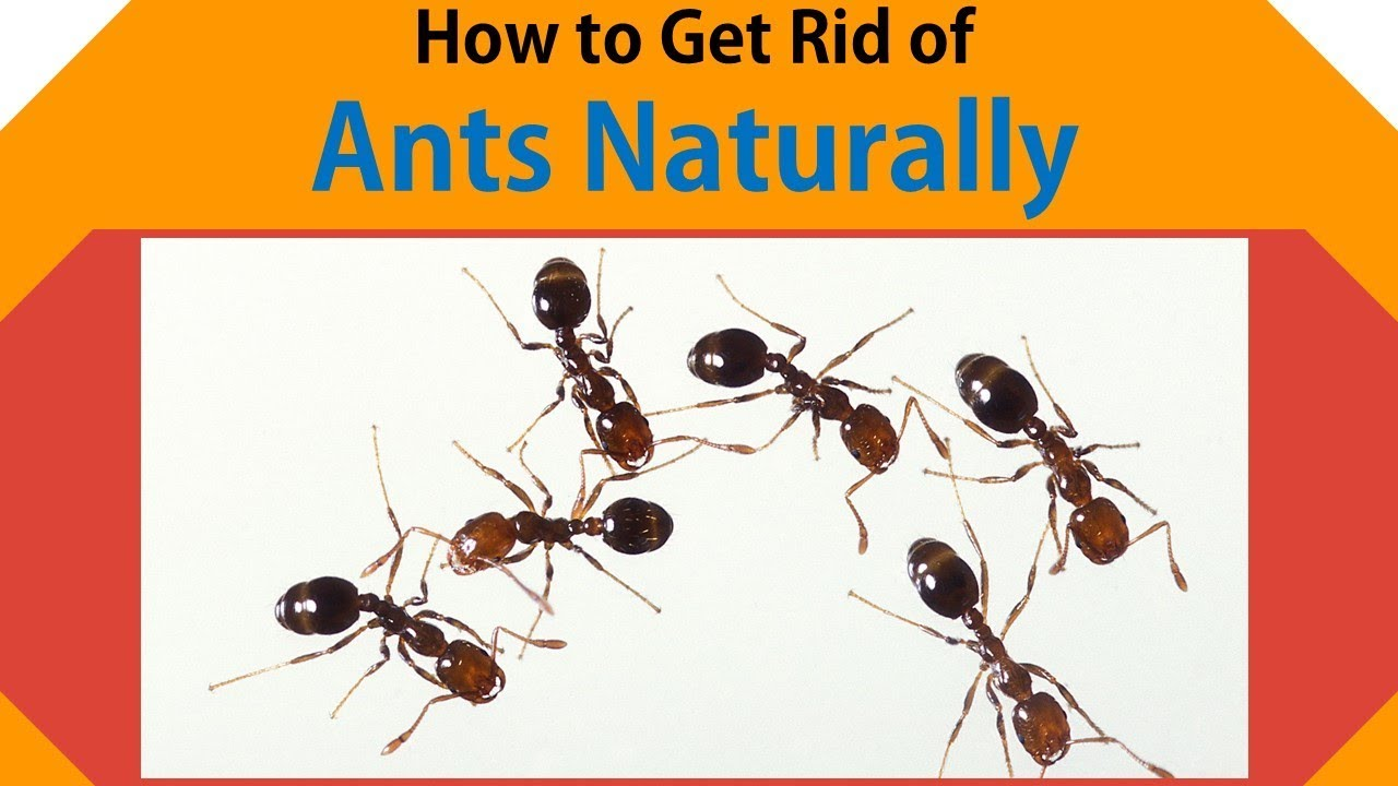 how to get rid of white ants nest