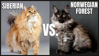 Siberian Cat VS. Norwegian Forest Cat